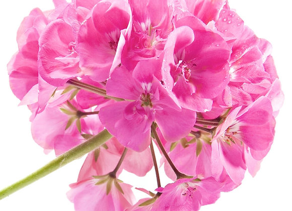 Geranium Rose Essential Oil