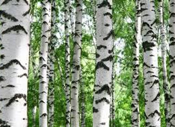 Birch Essential Oil
