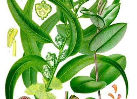 Eucalyptus Oil Essential