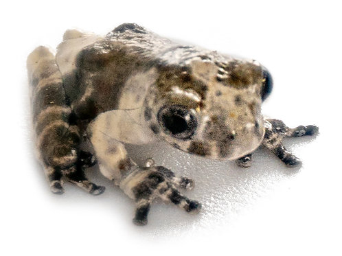 Bird Poop Frog