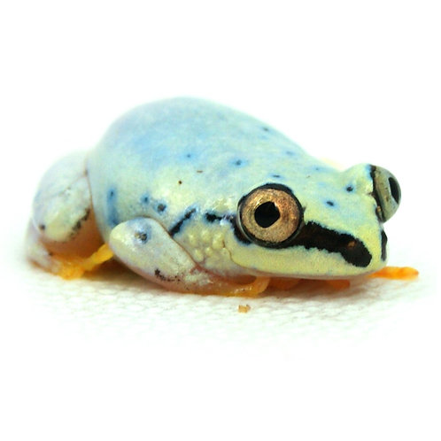 Blue Back Reed Frog