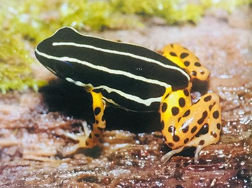 Adelphobates Quinquevittatus sub adults
