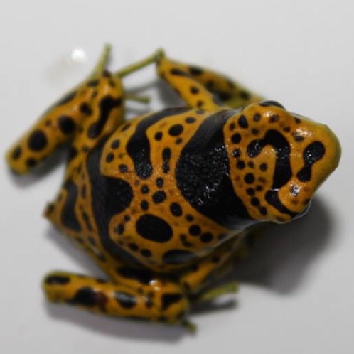 Fine Spot leucomelas