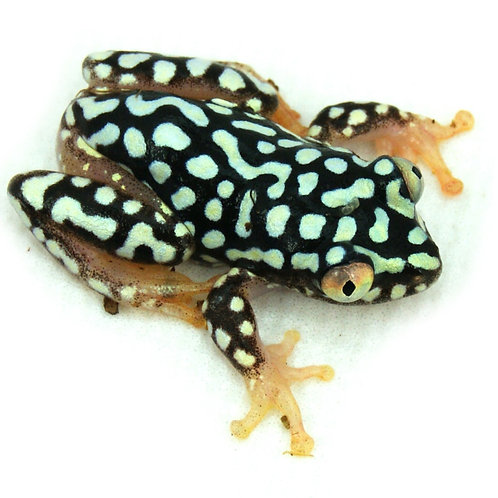 Stary Night Reed Frog