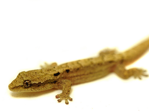 Hawaiian Mourning Gecko