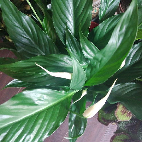 peace lilly spathiphyllum sweet chico