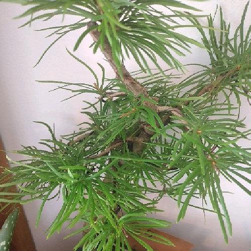 bonsai pseudolarix