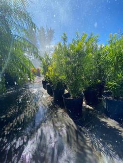 rain potocarpus