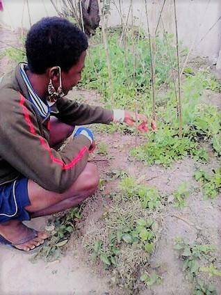Le pouvons enfin récolter les légumes de notre potager !