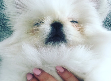 Our Pekingese Puppy Looks Like A Baby Seal