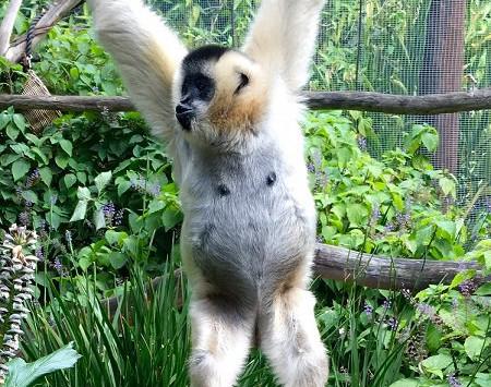 Vang the Gibbon
