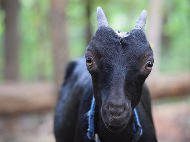 Meet the Goats Behind the Soaps- Introducing Tattle.