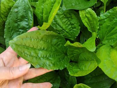 Beneficial Broadleaf Plantain