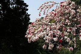 高澤観音の春(庫裡から)