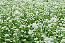 そばの花.jpg