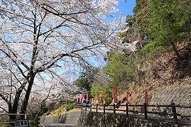 高澤観音の春(参道入口の桜)