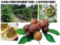 本州最大規模の露地栽培,関むぎパッションフルーツ
