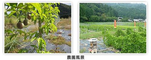 パッションフルーツ農園風景