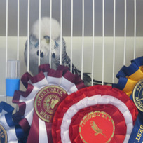 Best in show grey cock