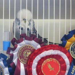 Best in show grey cock