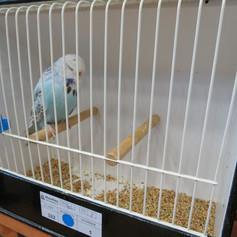 Opaline cinnamon young bird