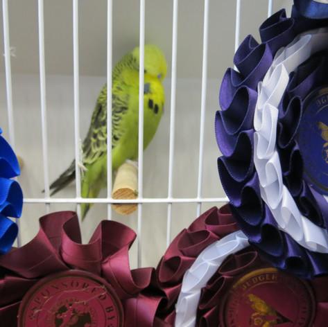 Best in show, best young bird