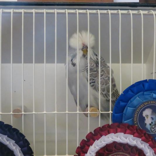 Best young bird Heptinstall & Wheeler - Cinnamon grey