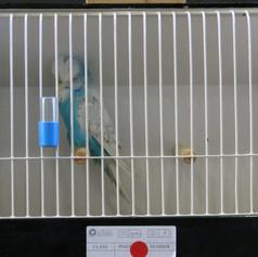 Spangle blue any age - Roy Tickle