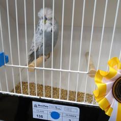 Spangle blue young bird