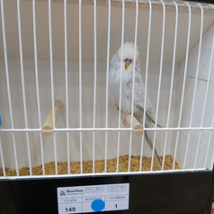 Any other colour (Dilute, grey white) - Sheperdson & Adamsonyoung bird