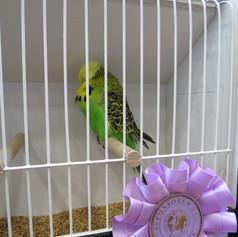Normal green young bird - Sheperdson & Adamson