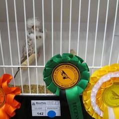 Recessive pied young bird - Terheege partnership