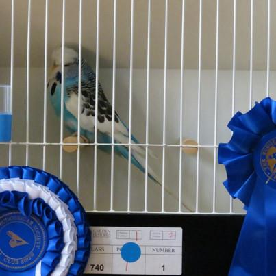 Dominant pied young bird - Sean Platts
