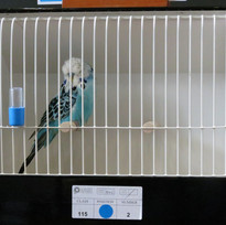 Opaline blue young bird - Cooked & Rusted