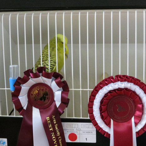 Cinnamon green any age - Heptinstall & Wheeler (Best novice any age)