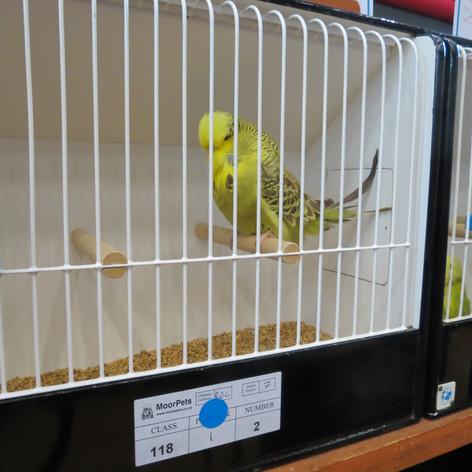 Cinnamon green young bird