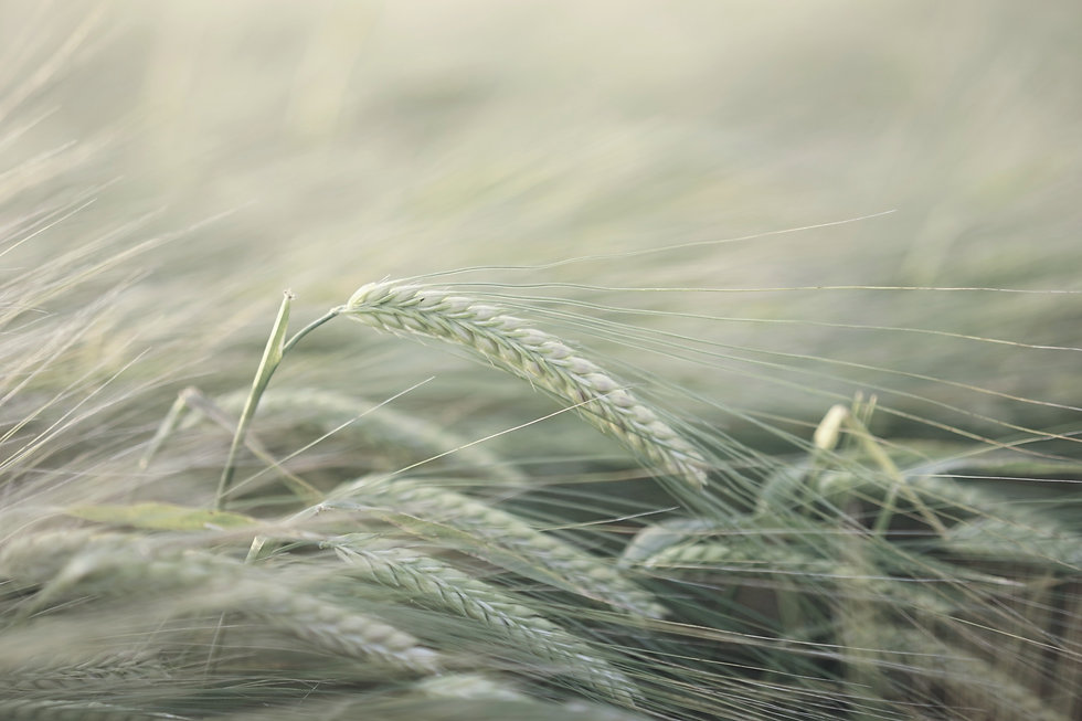 barley-2117454_25_edited.jpg