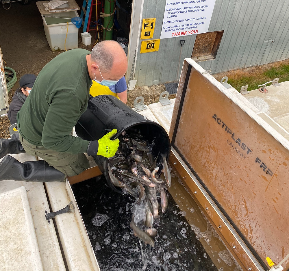 Loading Rainbow Trout into transport tanks