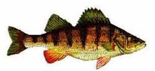 yellowperch.jpeg