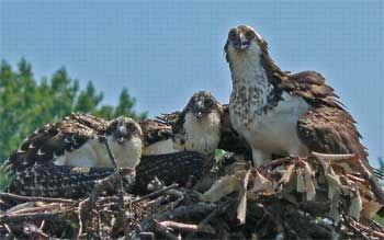 ospreyfamily.jpeg