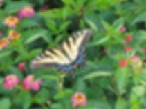 Tiger_swallowtail_352.jpg