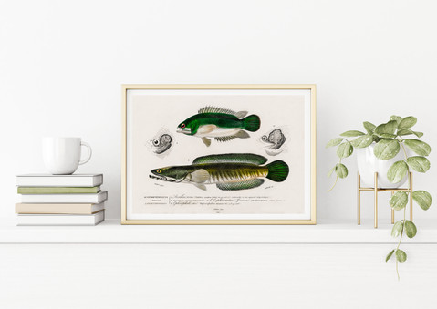 POSTER – Fishes, Charles Dessalines D'Orbigny