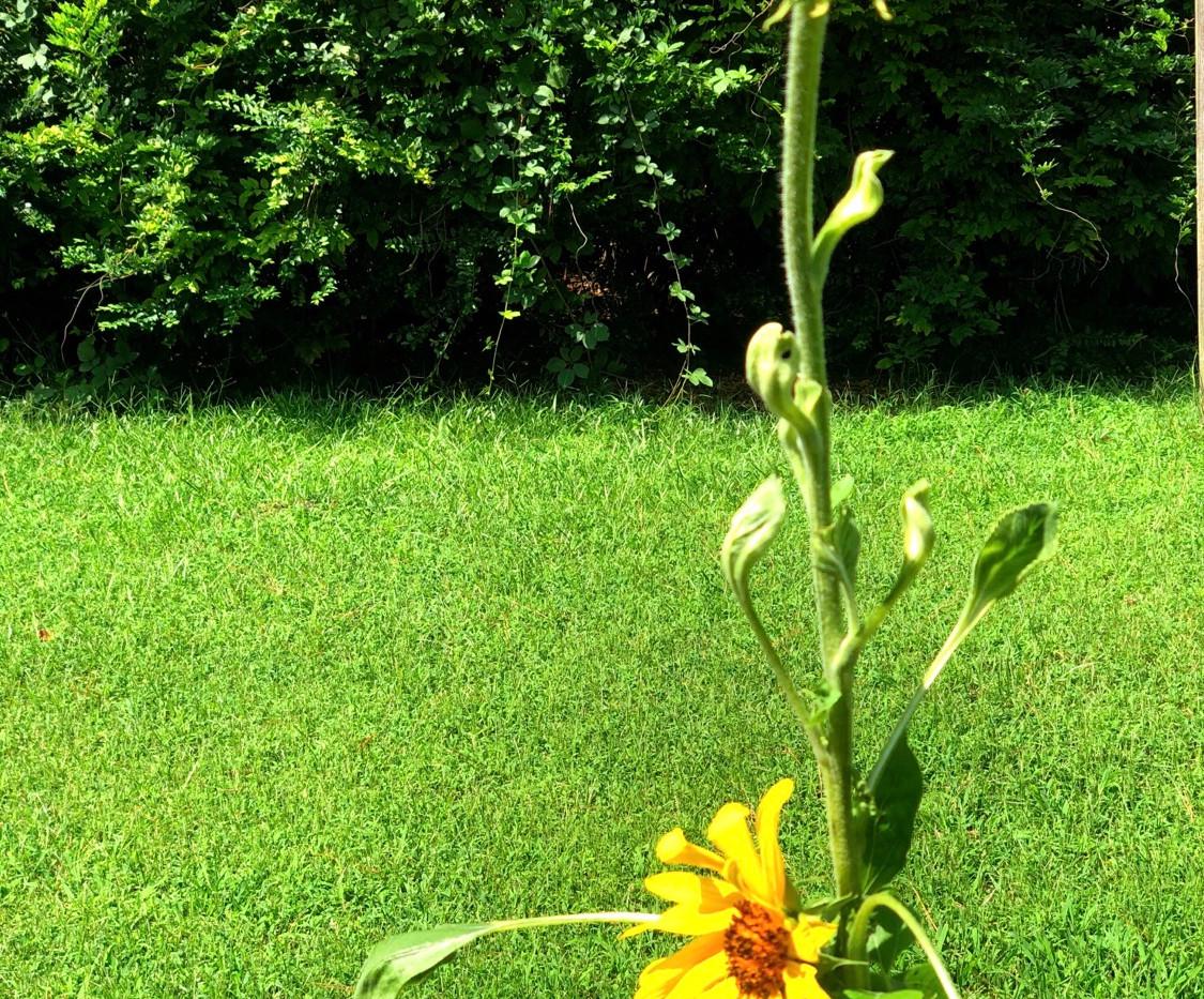 In-ground Sunflower