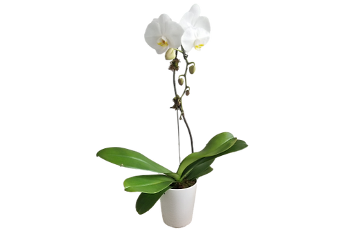 White and Unique Orchid