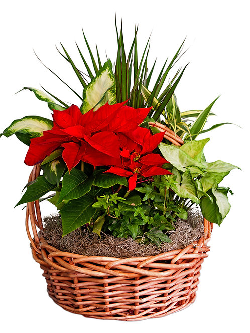 Classic Poinsettia in a Basket