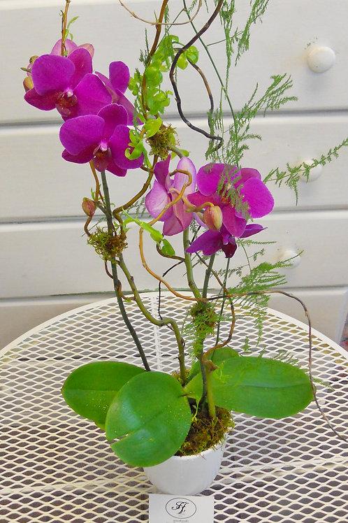 Royal Serenity Orchid