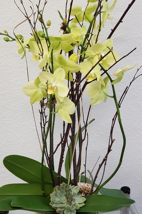 Oval orchid