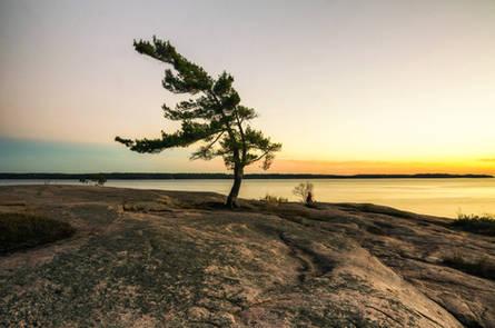 Lone windswept pine, Georgian Bay