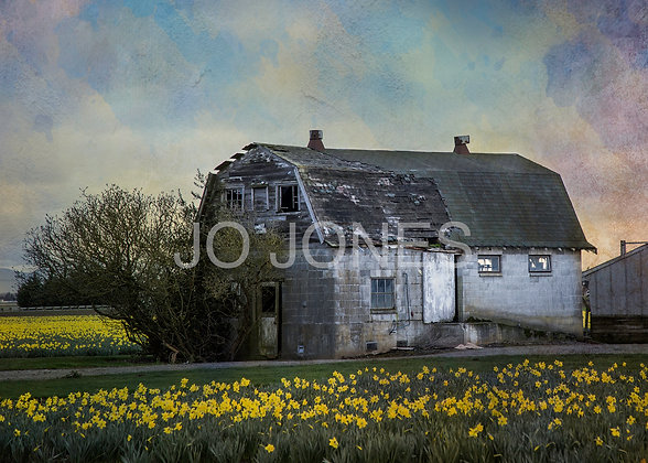 Barn and Daffies