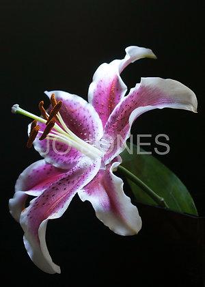 Oriental Purple Lily